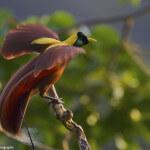 Amazone vogels