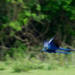 Pantanal blauwe ara papegaai