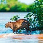 Pantanal capibara