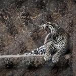 Onça pintada (Jaguar)